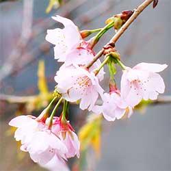 080316 今年初めての桜-1