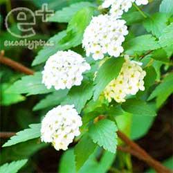 080506のコデマリの花