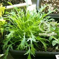 090511のベランダでの水菜の生長