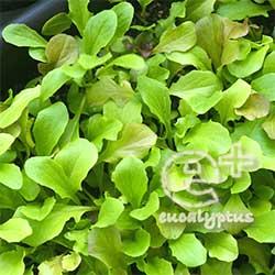090515のリーフレタス「ガーデンレタスミックス」(播種)の成長