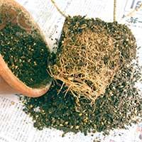100506プレオメラ植替え -鉢の中の根の状態