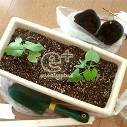 西洋朝顔の苗をプランターに植付け