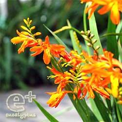 080710のモントブレチア(クロコスミア)のオレンジ色の花