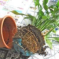 100521 スパティフィラム植替え -鉢から根鉢を抜いたところ