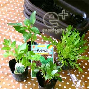 プランターと野菜の苗(ピーマン、水菜、モロヘイヤ、アシタバ)と野菜の種(ガーデンレタスミックス)