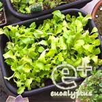 090519のリーフレタス「ガーデンレタスミックス」-間引き後