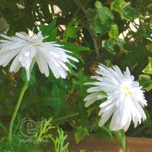 110504 の 花びらがフサフサの白いマーガレットの花
