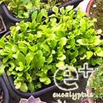 090519のリーフレタス「ガーデンレタスミックス」-かなりの混み合い