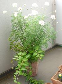 2005年の鉢植えの状態