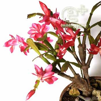 091210 の シャコバサボテンの花