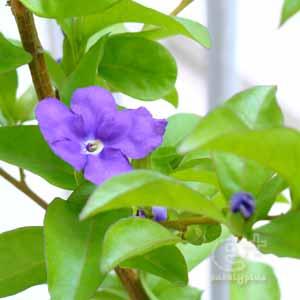 ニオイバンマツリの花が咲き始めた