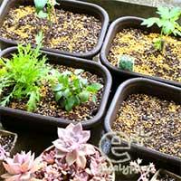 プランター菜園(左上から時計回りに、ピーマン、明日葉、ガーデンレタスミックス播種、モロヘイヤと水菜)