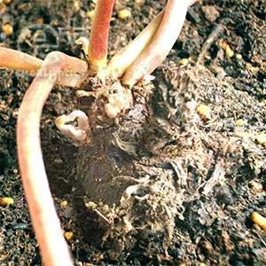 100504 死にそうだったシクラメンから芽が出た!