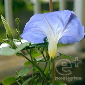 090527の西洋アサガオ「ヘブンリーブルー」最初の1輪が開花(後ろ姿)
