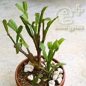 シャコバサボテンの自己流鉢植え