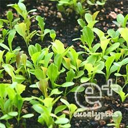 090510の「ガーデンレタスミックス」の芽