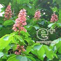ベニバナトチノキ(080517 at御茶ノ水)花のアップ