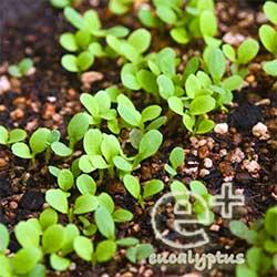 090507の「ガーデンレタスミックス」の芽