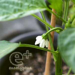 090511のピーマンの花
