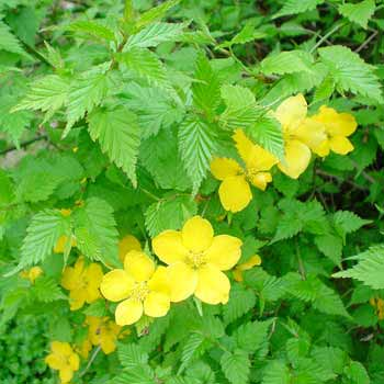 070327のヤマブキの花