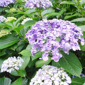 060623小石川植物園での めずらしいアジサイ