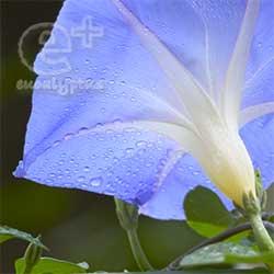 090529のアサガオ「ヘブンリー・ブルー」2輪目