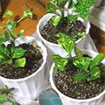 101012 挿し木のフイリアオキを鉢植え