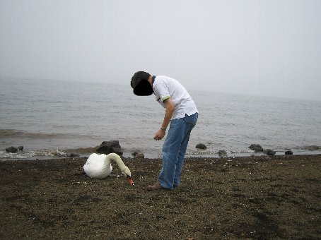 白鳥やーい