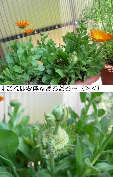 20080411mari-go-rudo.jpg