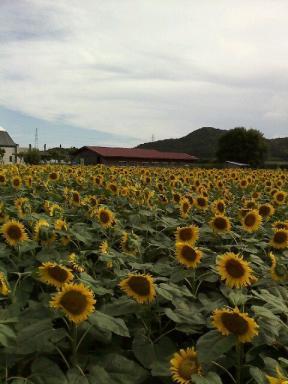 2011年7月12日 愛知県田原市「サンテパルクたはら」で満開の向日葵
