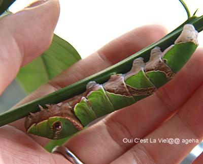 初夏の終齢幼虫。クロアゲハ。