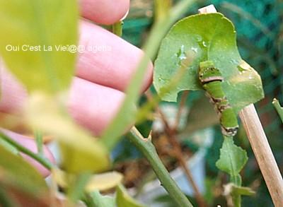真冬の終齢幼虫。クロアゲハ02