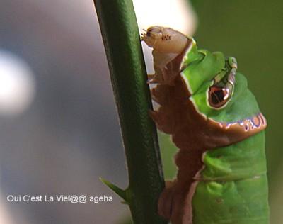 初夏の終齢幼虫。クロアゲハ歩く。