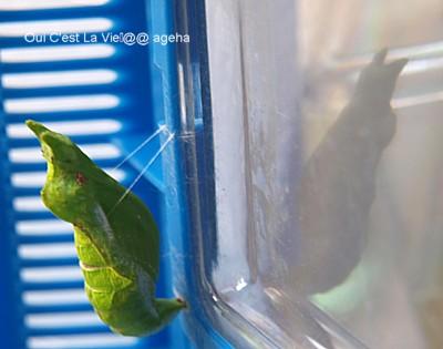 初夏のクロアゲハ終齢幼虫。前蛹から蛹化。