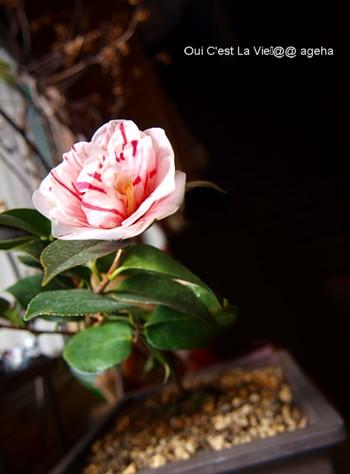 祖母の形見江戸椿。2011春咲く。