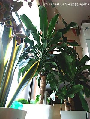 幸福の木(ドラセナ)植え替え。根詰まり。