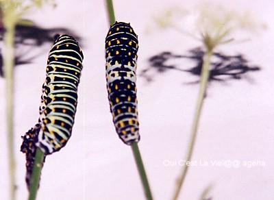 キアゲハ飼育。3齢幼虫と脱皮直後の4齢幼虫。