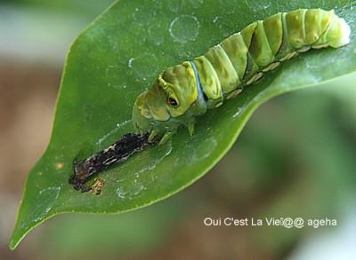 アゲハチョウ飼育。脱皮後皮を食べる。