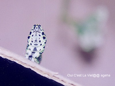 キアゲハ飼育。蛹化準備糸張り。かわいい?