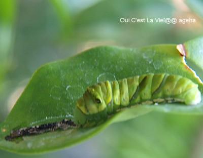 アゲハチョウ飼育。脱皮皮を食べるのは栄養価が高いから。