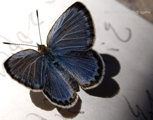 ヤマトシジミチョウ飼育。羽化。表翅はコバルトブルー。