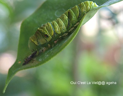 アゲハチョウ飼育。脱皮後旧皮を食べて栄養摂取。