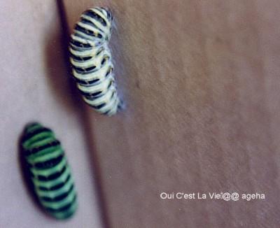 キアゲハ飼育。終齢幼虫蛹化場所はダンボール派の前蛹。
