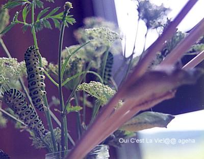 キアゲハ飼育。イブキボウフウと幼虫と蛹各種取り揃えております。