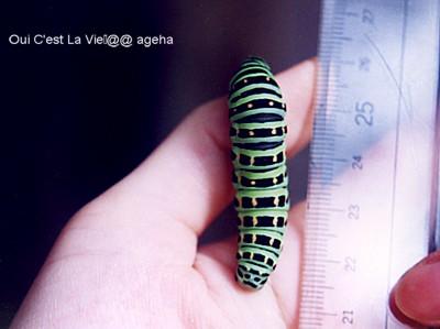 キアゲハ飼い方。5齢(終齢)幼虫。そろそろ蛹化。