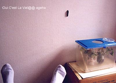 キアゲハ飼い方。終齢幼虫蛹化場所を探して歩く。