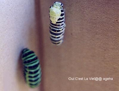 キアゲハ飼育。蛹化(前蛹~蛹への脱皮)。02