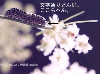 キアゲハ飼育。臭角と威嚇。