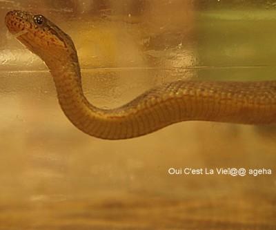 信州ヘビ幼蛇。ジムグリ?