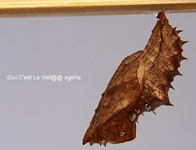 ツマグロヒョウモン蛹は金ピカ。